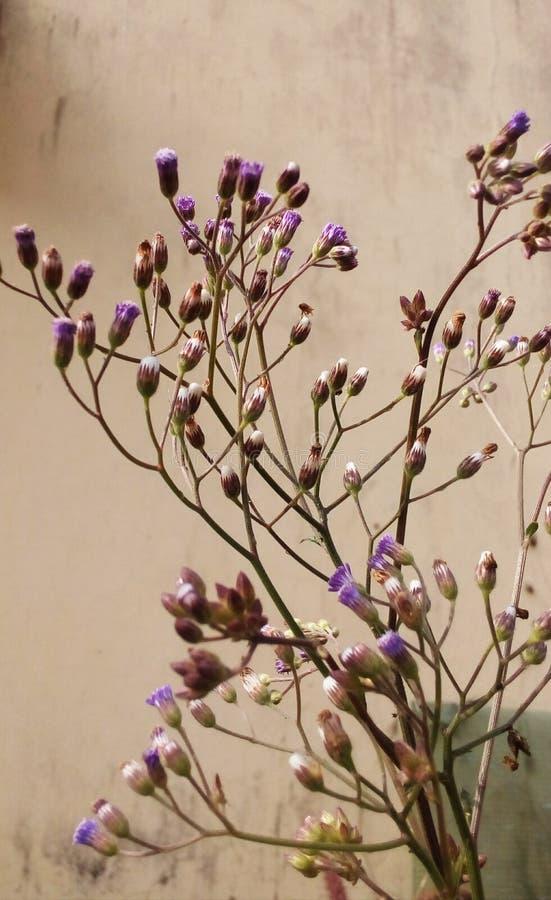 Växt för Cyanthillium cinereumblomma arkivfoto