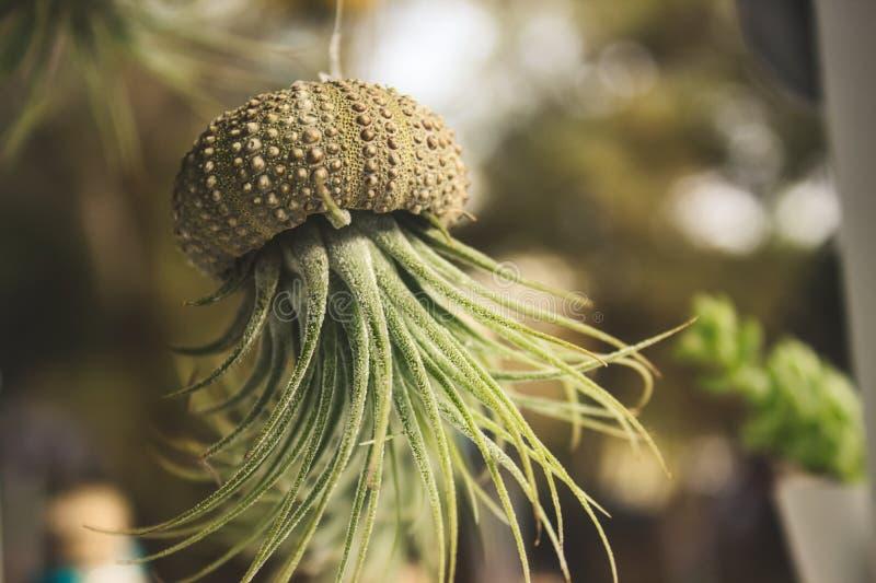 Växt för Epiphyte Tillandsialuft som växer ut ur ett urgröpt havsskal som hänger från en tråd arkivfoto