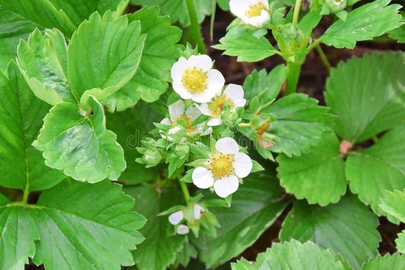 Växt för Fragariavescajordgubbe som arbeta i trädgården fotoet för plantera materiel arkivfoto