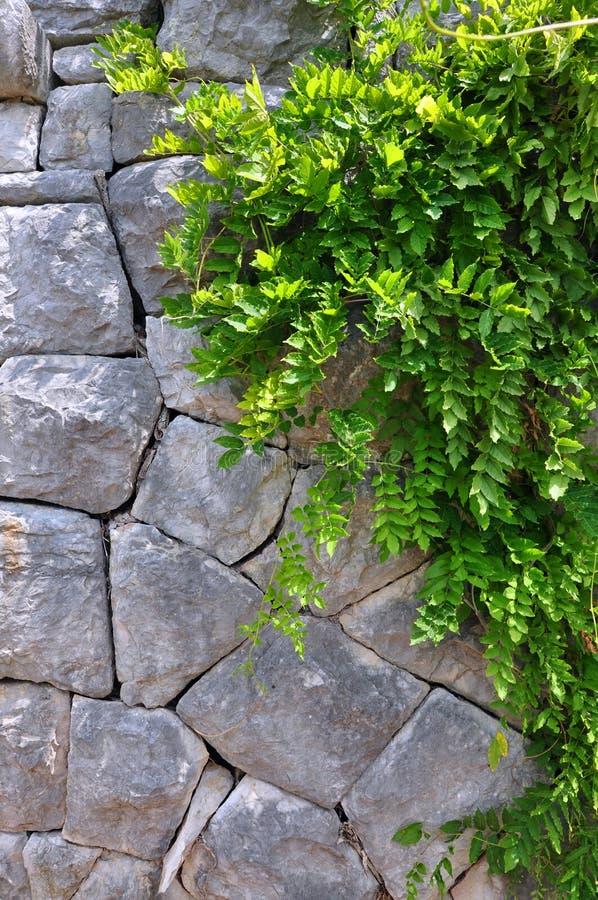 Växt för gammal stenvägg och gräsplanranka - vertikal bild. royaltyfri bild