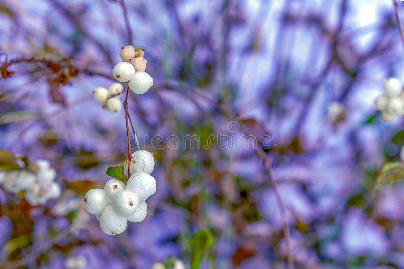 Växt för gemensam Snowberry för Symphoricarposalbus med vita bär arkivfoto