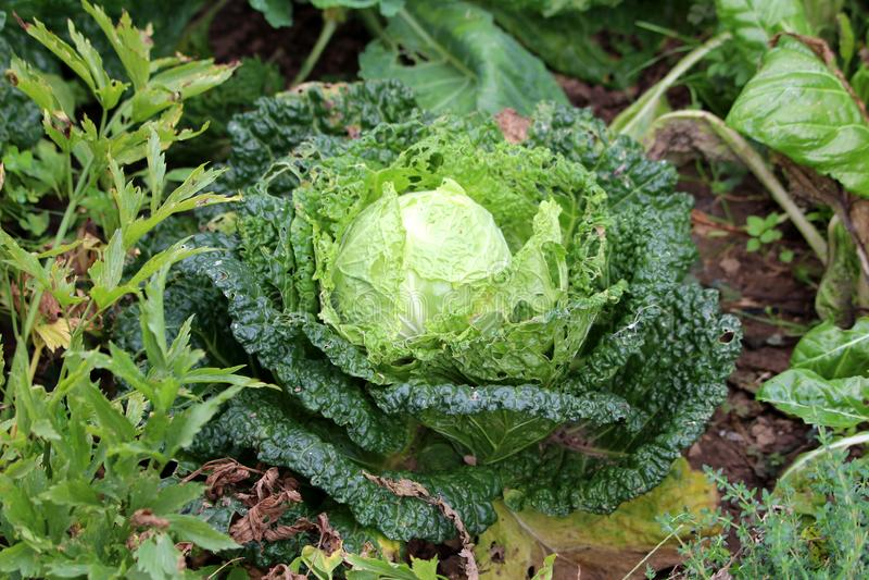 Växt för grönsak för härdad kall säsong för grönkål- eller bladkål som årlig grön växer i den lokala trädgården som omges med and royaltyfria foton