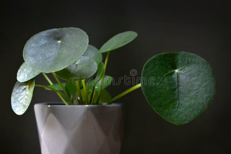 Växt för hem för ufo för pengar för Pileapeperomioides kinesisk med runda sidor i den gråa krukan som är främst av mörk bakgrund arkivbild