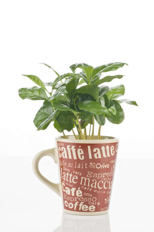 växt för kaffekopp royaltyfri fotografi
