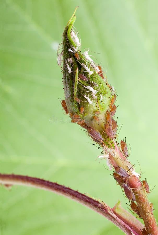växt för knoppblommalice royaltyfri foto