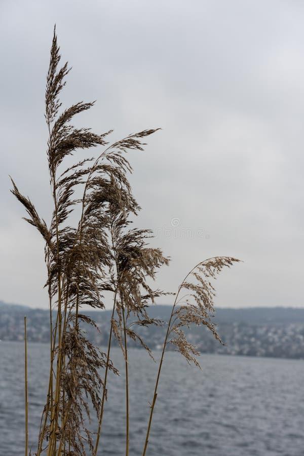 Växt för löst vete på floden med himmel för blått vatten och dimma, melankoliskt lynnebegrepp arkivbilder