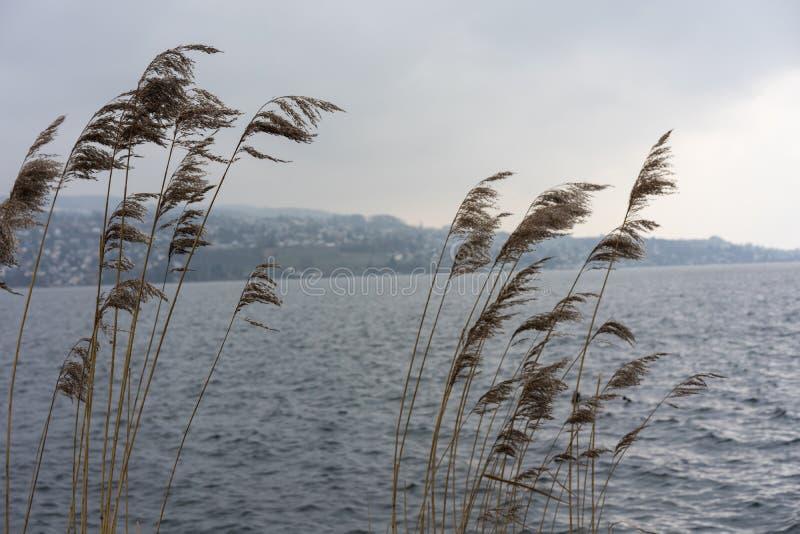 Växt för löst vete på floden med himmel för blått vatten och dimma, melankoliskt lynnebegrepp royaltyfri bild