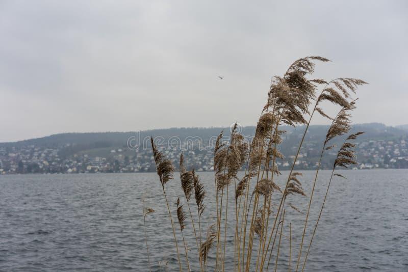 Växt för löst vete på floden med himmel för blått vatten och dimma, melankoliskt lynnebegrepp royaltyfri fotografi