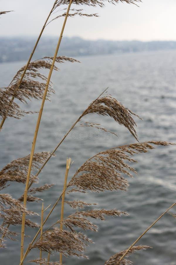 Växt för löst vete på floden med himmel för blått vatten och dimma, melankoliskt lynnebegrepp arkivfoton