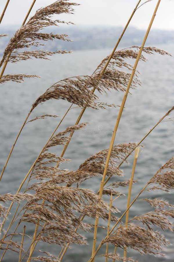 Växt för löst vete på floden med himmel för blått vatten och dimma, melankoliskt lynnebegrepp royaltyfri foto