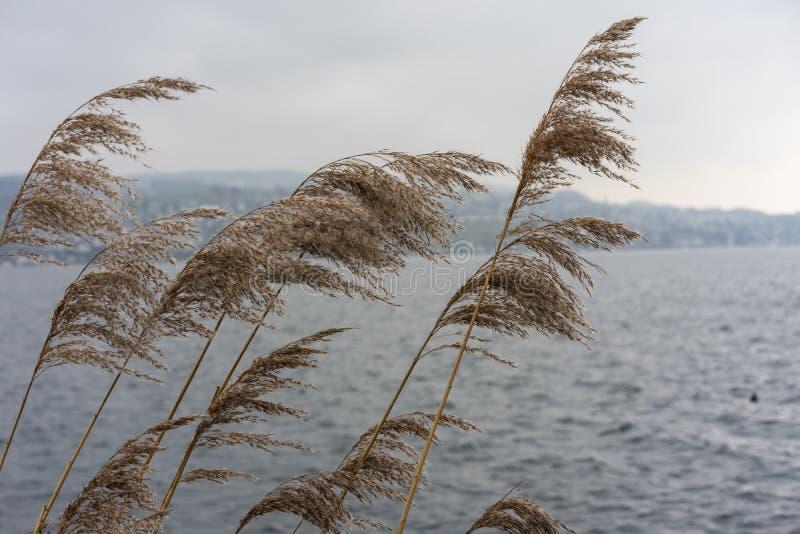 Växt för löst vete på floden med himmel för blått vatten och dimma, melankoliskt lynnebegrepp fotografering för bildbyråer