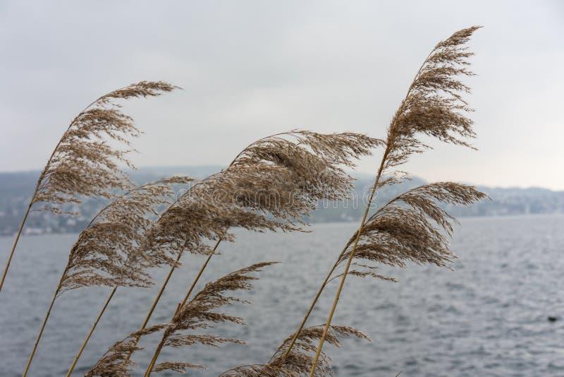 Växt för löst vete på floden med himmel för blått vatten och dimma, melankoliskt lynnebegrepp arkivfoto