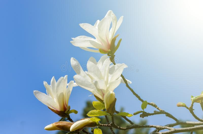 Växt för magnoliakobusblomma royaltyfri bild