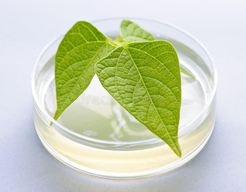 växt för maträttgm petri arkivfoto
