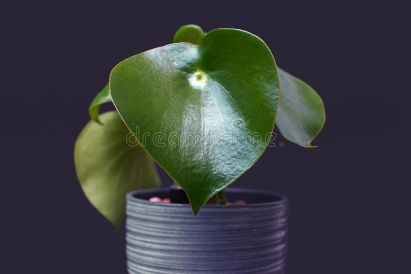 Växt 'för PeperomiaPolybotrya'element i kruka på mörk bakgrund arkivbild