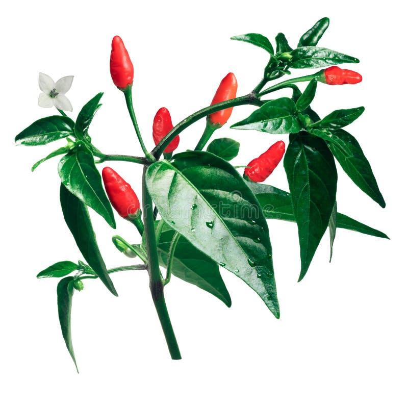 Växt för peppar för Pequin piquinchile, banor royaltyfria foton