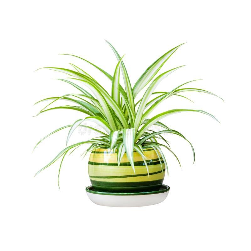 Växt för spindel för Chlorophytum comosum också bekant i en kruka som isoleras på vit bakgrund med urklippbanan royaltyfri foto
