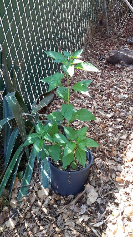 Växt för tabascopeppar royaltyfri bild