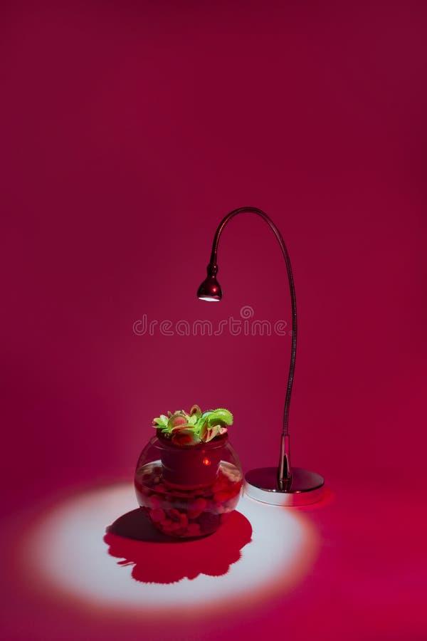 Växt för tabell för Venus flytrap i kruka under lampan på rosa bakgrund royaltyfri bild