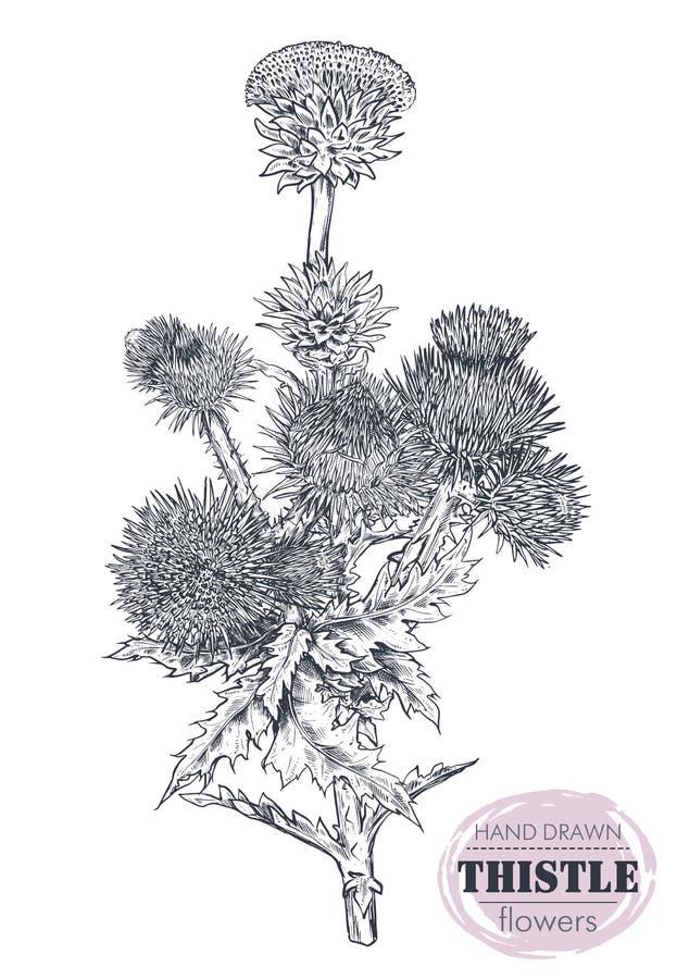 Växt för tistel eller för Carduus för vektorhand utdragen, blad, knopp och blomma som isoleras på vit bakgrund stock illustrationer