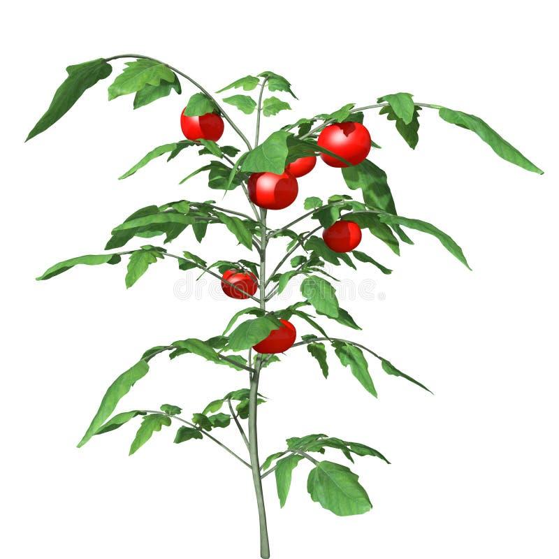 växt för tomat 3d royaltyfri illustrationer