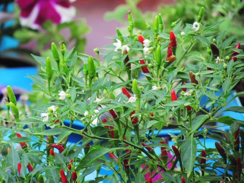 Växt för varma peppar för chili, FÅGELCHILI för PAPRIKA FRUTESCENS LINN, C royaltyfria foton