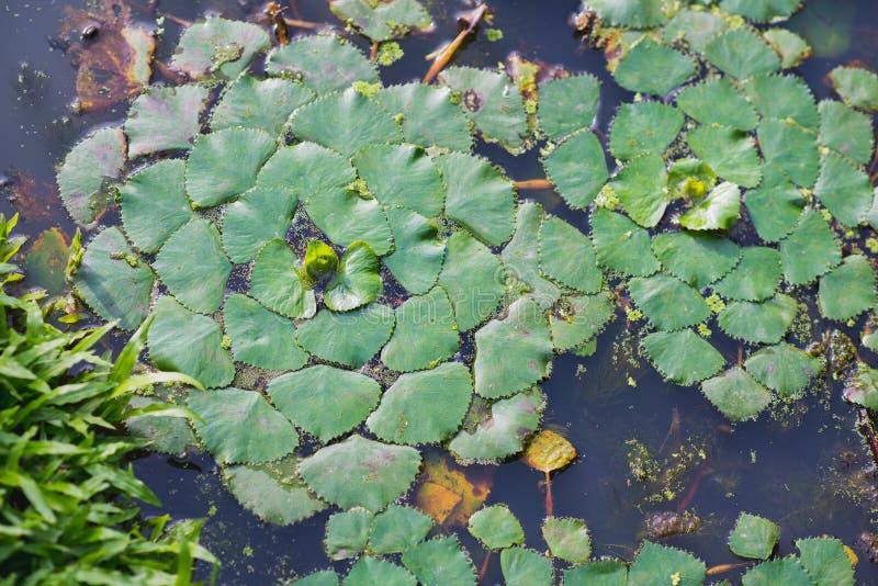 Växt för vattenkastanj royaltyfria bilder