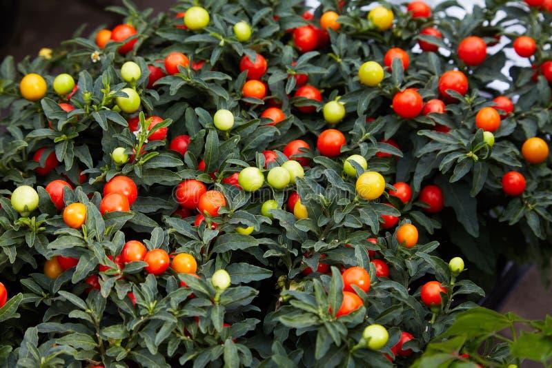 Växt för vinterkörsbär eller Solanum Pseudocapsicum, dekorativ växt för Jerusalem körsbär för jul royaltyfri foto
