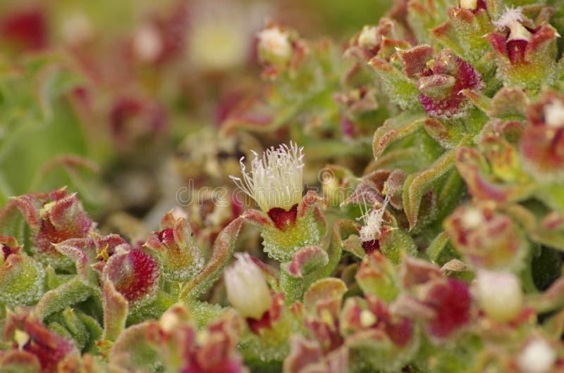Växt från Tenerife royaltyfria bilder