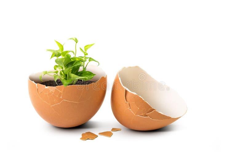 Växt i ägg arkivfoton