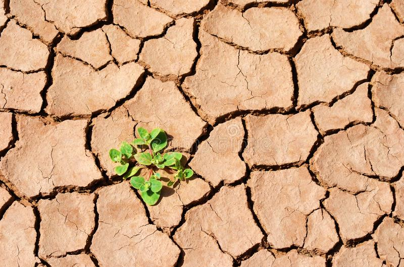 Växt i den torra öknen, sprucket land royaltyfri bild
