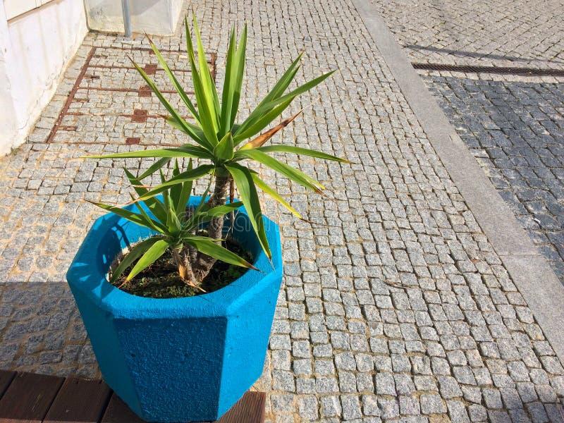 Växt i en blå blomkruka, färgbeståndsdel, härlig blå färg arkivfoton
