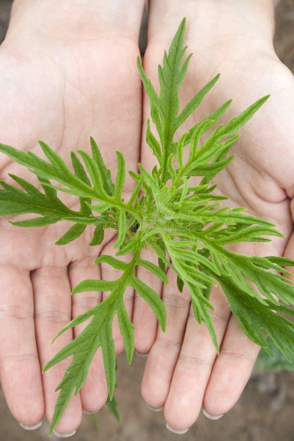 Växt i händer fotografering för bildbyråer