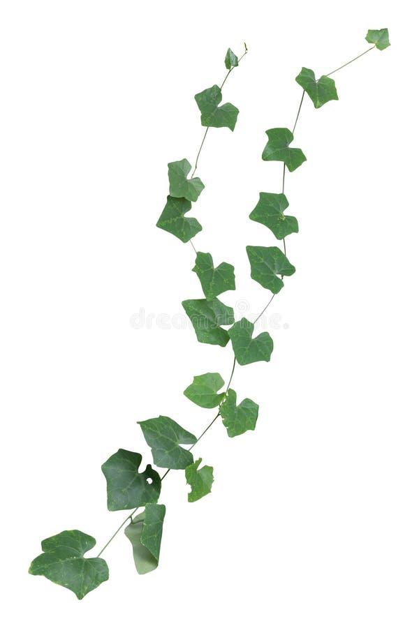 växt isolerat klättra för murgrönagräsplanvinranka som är tropiskt Snabb bana arkivbilder
