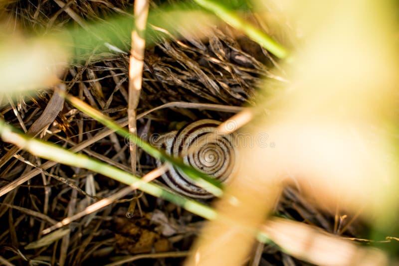 Växt- liten snigel med en spiral modell I vått torrt och nytt gräs, gult och grönt Djur, royaltyfri bild