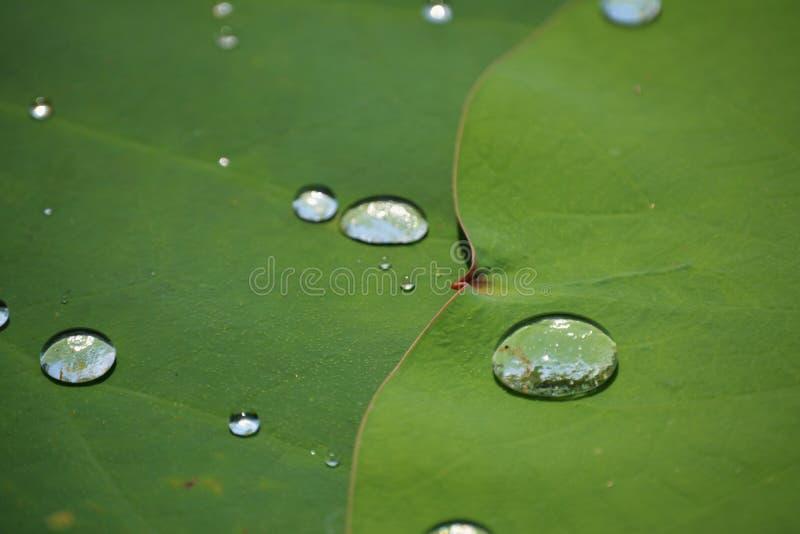 Växt med droppar av vatten royaltyfria foton