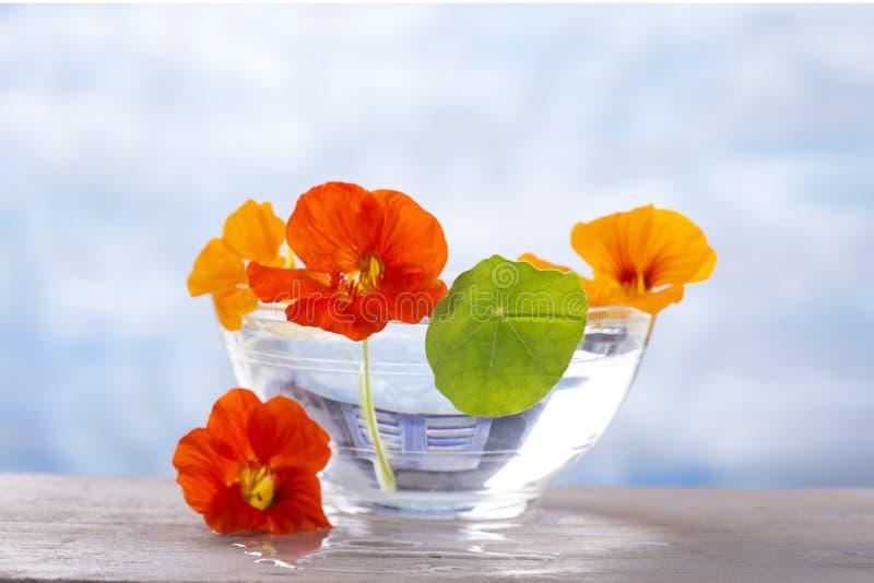Växt- medicin - indiankrasse tea för glass växt- för horsetail för fokus för arvensekoppequisetum selektiv naturmedicin för avkok arkivfoto