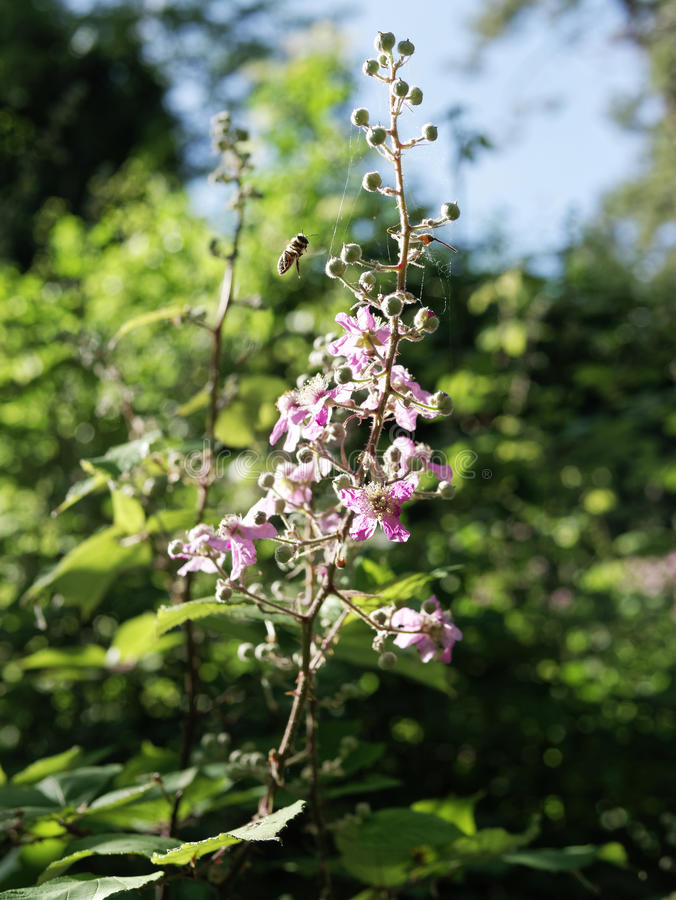 Växt och blomma Blackberry Rubusulmifolius royaltyfri foto