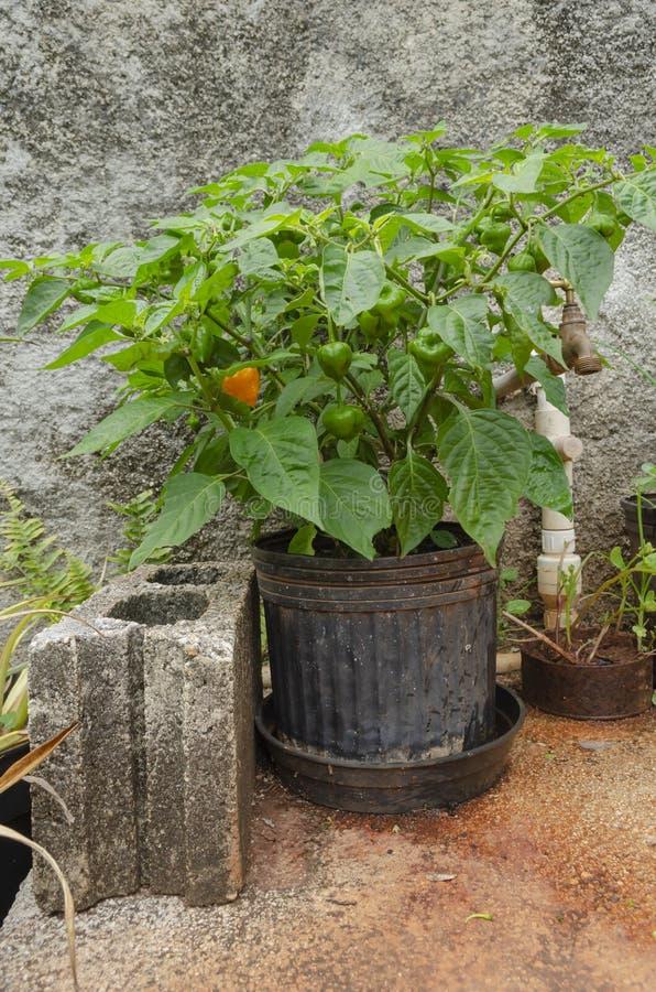 Växt och frukter för peppar för blomkrukaWhith varma skotsk whisky arkivbilder