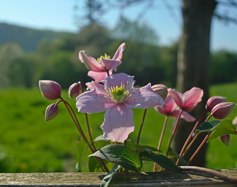 Växt som är full med att blomma ljus - purpurfärgade blommor royaltyfri fotografi