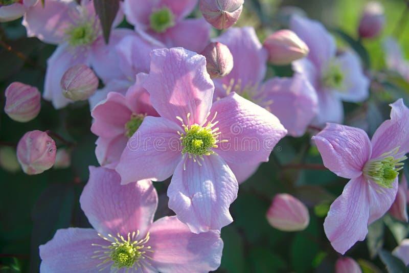 Växt som är full med att blomma ljus - purpurfärgade blommor fotografering för bildbyråer
