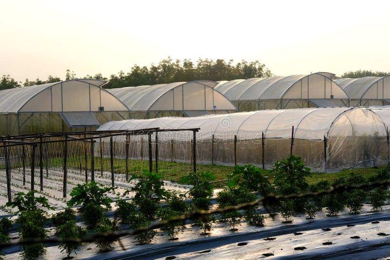 växt som växer i lantgård vegatable koloni i grönt hus arkivfoto
