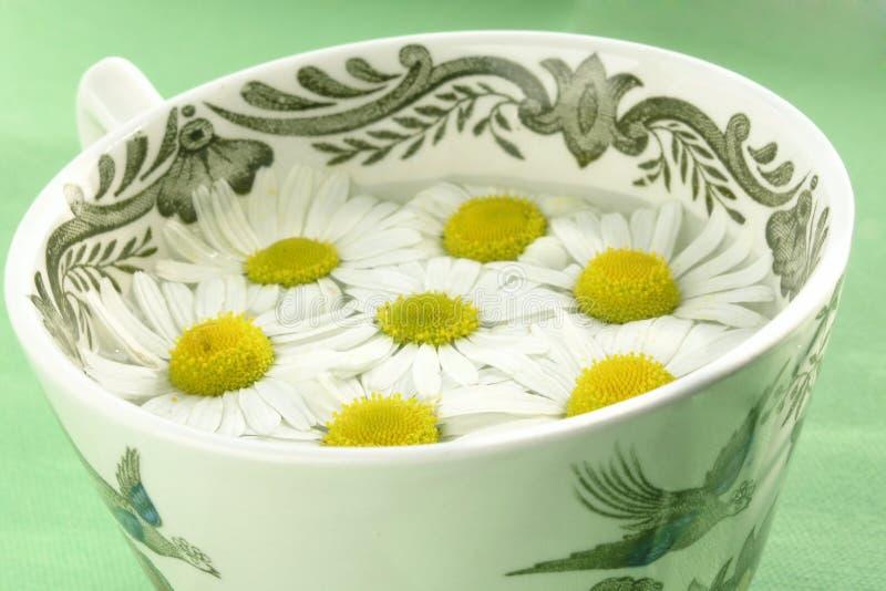 Download Växt- tea för camomile arkivfoto. Bild av omsorg, blomma - 230958