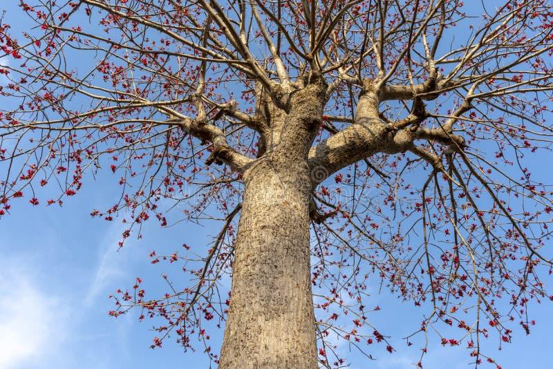 Växt- träd för Buteamonosperma med himmel royaltyfria foton