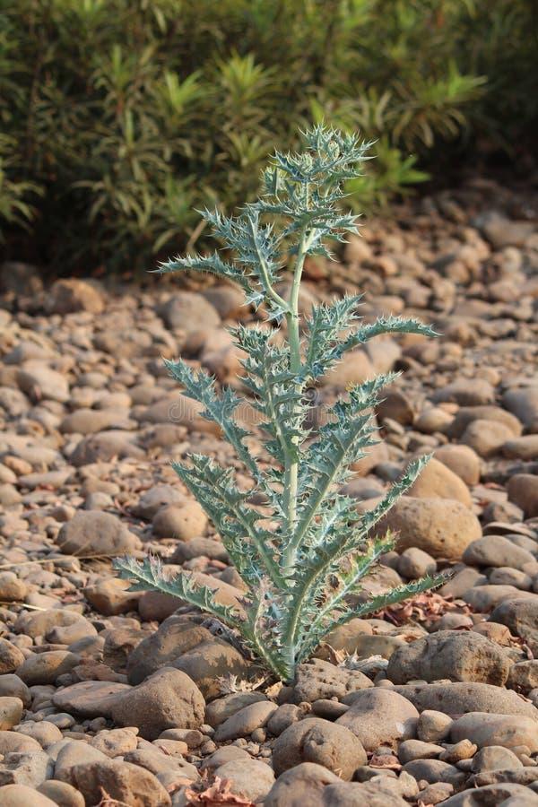 Växt utan vatten fotografering för bildbyråer