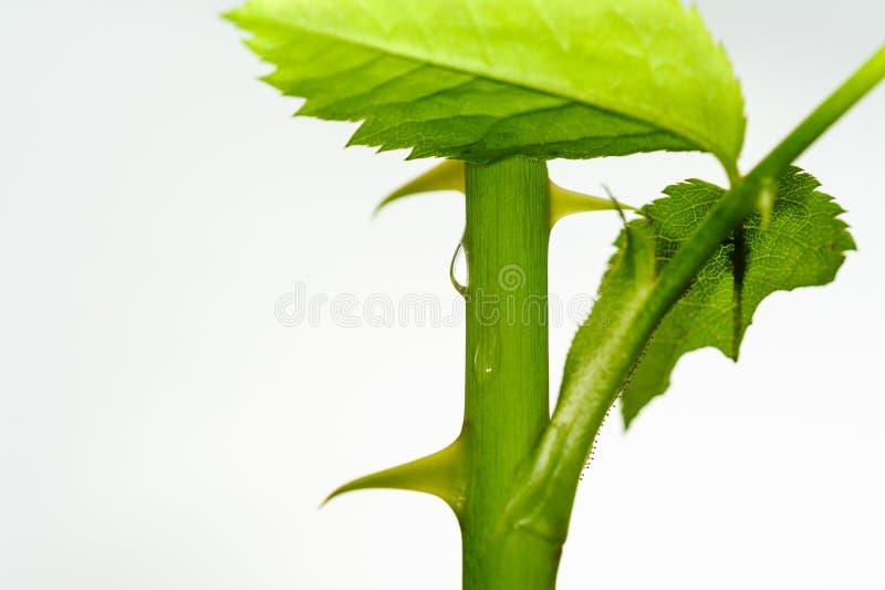 Växt- växtstam med vattendroppe arkivfoto