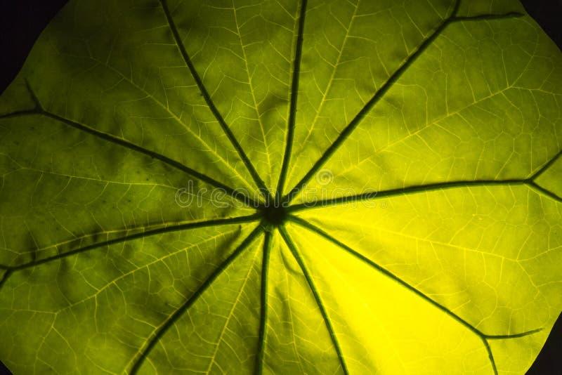 Växtbladkontroll upp för sjukdom arkivfoto