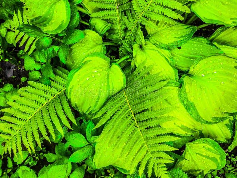 Växtbladtextur, stor mörk hostalövverknatur - gräsplan arkivfoton