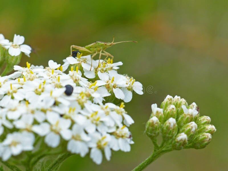 Växtbuggen på drottning Anne's Lace 1 royaltyfria foton