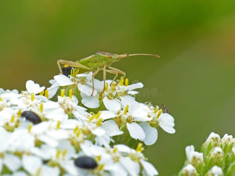 Växtbuggen på drottning Anne's Lace 2 royaltyfri fotografi